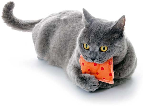 Russian Blue cat with cuddly cushion
